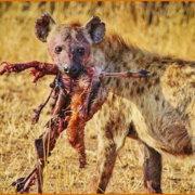 Ισχύει ότι εφόσον η θανάτωσή ζώων για φαγητό υπάρχει στη φύση το να τρώμε κρέας είναι κάτι σωστό;