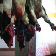 Είναι αλήθεια ότι στα ελληνικά σφαγεία τα ζώα δεν κακοποιούνται;