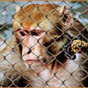 Είναι νόμιμο (και συνεπώς ηθικό) το να εκμεταλλευόμαστε και να τρώμε ζώα