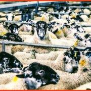 Το έγκλημα της βιομηχανοποιημένης κτηνοτροφίας